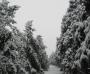 大雪压青松 大雪压青松青松挺且直